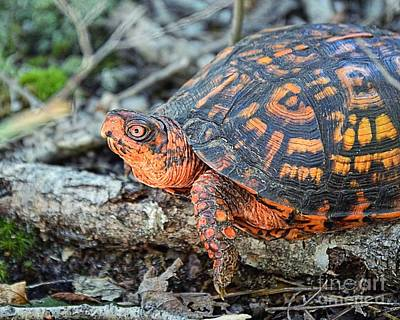 Photograph - Eastern Box Turtle by Sharon Woerner
