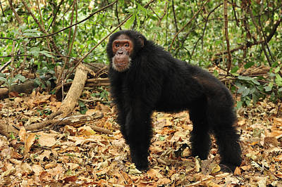 Ape Photograph - Eastern Chimpanzee Gombe Stream Np by Thomas Marent