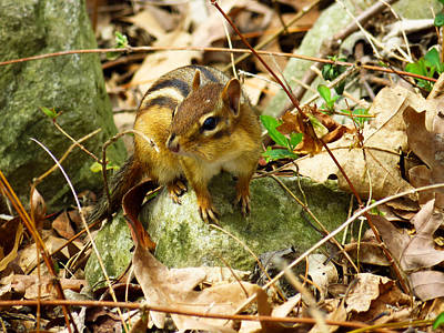 Photograph - Eastern Chipmunk Chilling On A Rock by Shawna Rowe