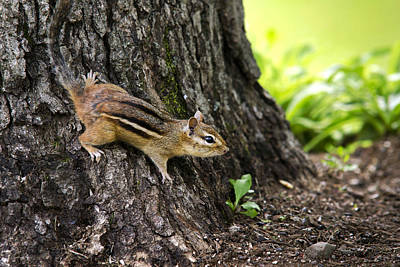 Photograph - Eastern Chipmunk On Tree by Christina Rollo
