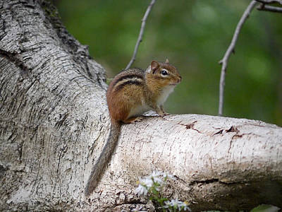 Photograph - Eastern Chipmunk by Richard Reeve