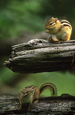 Eastern Chipmunk Photograph - Eastern Chipmunks by Novastock