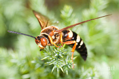 Photograph - Eastern Cicada Killer Wasp by Clarence Holmes