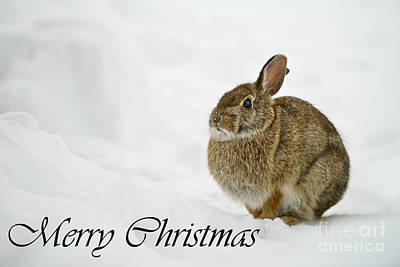 Photograph - Eastern Cottontail Christmas Card 1 by Michael Cummings