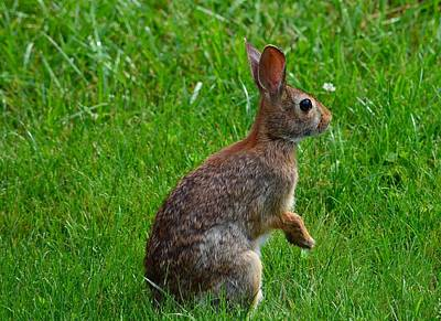 Eastern Cottontail Art Print