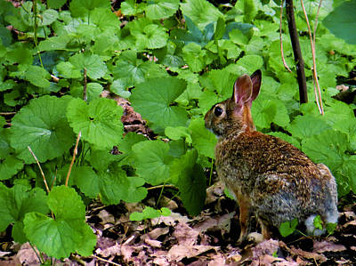Photograph - Eastern Cottontail Rabbit by Shawna Rowe