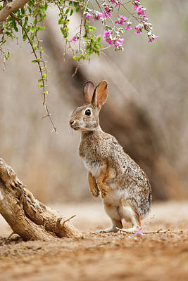 Drought Wall Art - Photograph - Eastern Cottontail (sylvilagus by Larry Ditto