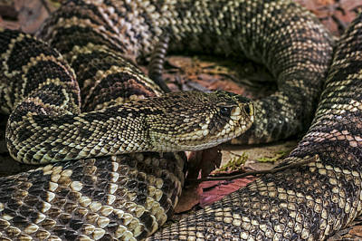 Photograph - Eastern Diamondback Rattlesnake 1 by Arterra Picture Library