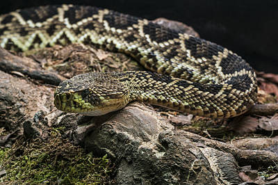 Photograph - Eastern Diamondback Rattlesnake 2 by Arterra Picture Library