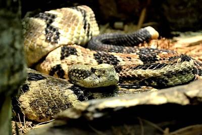 Timber Rattler Photograph - Eastern Diamondback Rattlesnake by Deena Stoddard