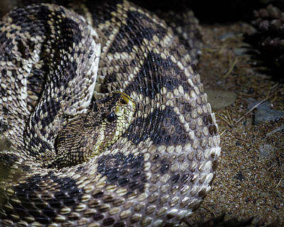Photograph - Eastern Diamondback Rattlesnake by Ron Pate