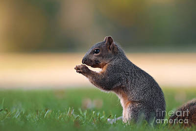 Eastern Fox Squirrel Photograph - Eastern Fox Squirell by Brandon Alms