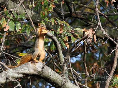 Eastern Fox Squirrel Art Print by Jack R Brock