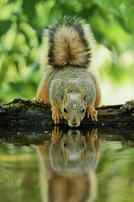 Eastern Fox Squirrel Photograph - Eastern Fox Squirrel (sciurus Niger by Rolf Nussbaumer