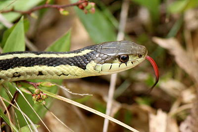 Photograph - Eastern Gartersnake  by David Pickett
