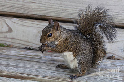 Photograph - Eastern Gray Squirrel-4 by Diane Macdonald