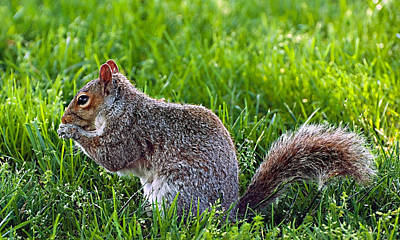 Photograph - Eastern Gray Squirrel by Donna Proctor