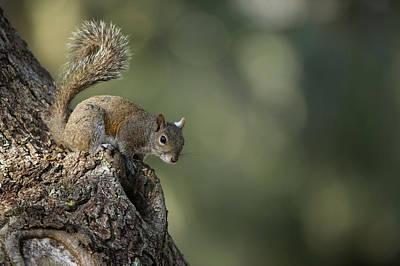 Eastern Gray Squirrel, Or Grey Squirrel Art Print