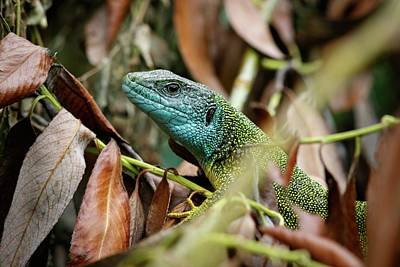Eastern Europe Photograph - Eastern Green Lizard by Heath Mcdonald