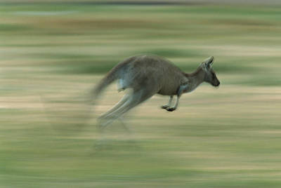 Eastern Grey Kangaroo Female Hopping Art Print by Ingo Arndt