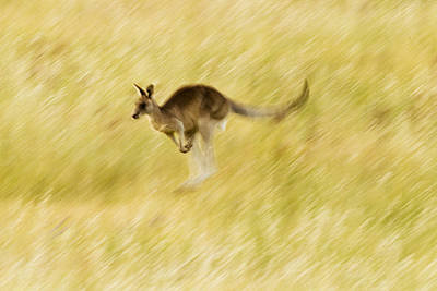 Eastern Grey Kangaroo Hopping Art Print by Sebastian Kennerknecht
