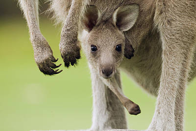 Peer Photograph - Eastern Grey Kangaroo Joey Peering by Sebastian Kennerknecht