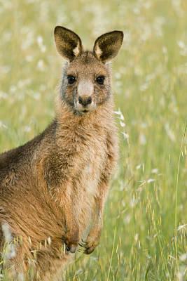 Eastern Grey Kangaroo Juvenile Mount Art Print by Sebastian Kennerknecht