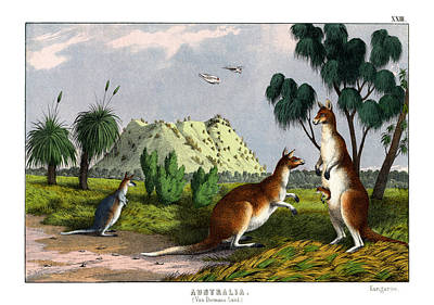 Kangaroo Drawing - Eastern Grey Kangaroo by Splendid Art Prints