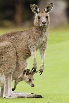 Eastern Grey Kangaroo With Joey Print by Sebastian Kennerknecht