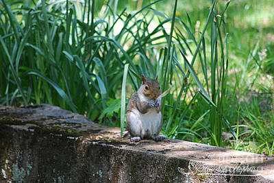 Photograph - Eastern Grey Squirrel 20120429_150a by Tina Hopkins