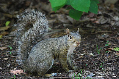 Photograph - Eastern Grey Squirrel 20130523_99 by Tina Hopkins