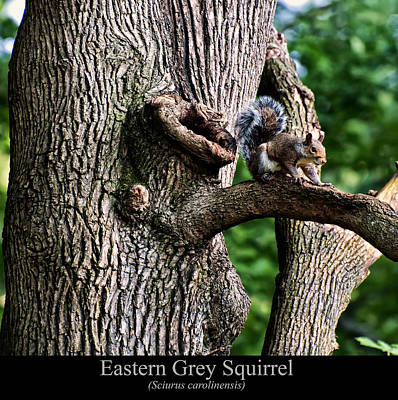 Digital Art - Eastern Grey Squirrel by Chris Flees