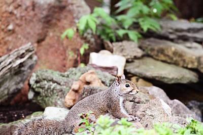 Eastern Grey Squirrel Photograph - Eastern Grey Squirrel  by Stephanie Frey