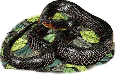 Photograph - Eastern Indigo Snake, Illustration by Roger Hall