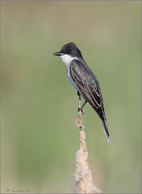 Photograph - Eastern Kingbird by Daniel Behm