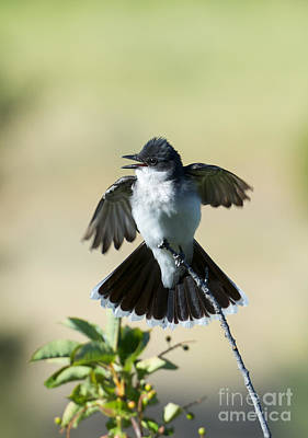 Kingbird Photograph - Eastern Kingbird Display by Mike  Dawson
