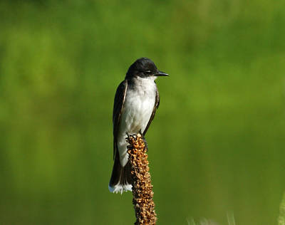 Kingbird Photograph - Eastern Kingbird by Ernie Echols