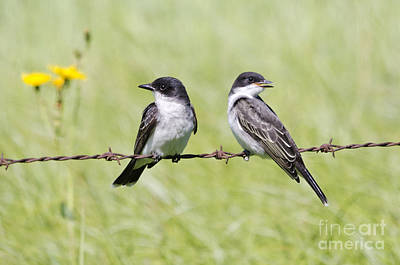 Photograph - Eastern Kingbird Family by Dee Cresswell