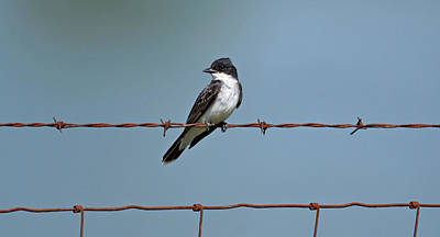 Kingbird Photograph - Eastern Kingbird On Wire by Sandy Keeton
