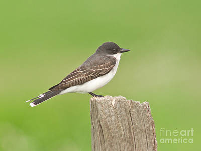 Kingbird Photograph - Eastern Kingbird by Robert Frederick