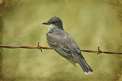 Kingbird Photograph - Eastern Kingbird by Sandy Keeton