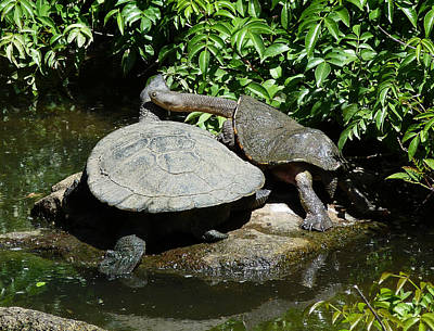 Photograph - Eastern Long-necked Turtles by Margaret Saheed