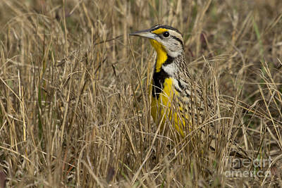 Photograph - Eastern Meadowlark by Meg Rousher