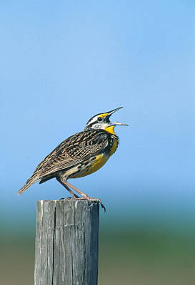 Meadowlark Photograph - Eastern Meadowlark by Paul J. Fusco