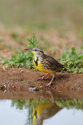 Meadowlark Wall Art - Photograph - Eastern Meadowlark (sturnella Magna by Larry Ditto