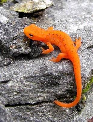 Orange Julius The Eastern Newt Art Print by Lori Pessin Lafargue