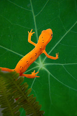 Photograph - Eastern Newt On Leaf by Douglas Barnett