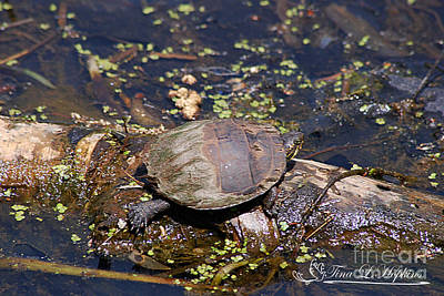 Photograph - Eastern Painted Turtle 20120430a_250a by Tina Hopkins