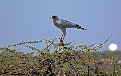 Photograph - Eastern Pale Chanting Goshawk by Tony Murtagh