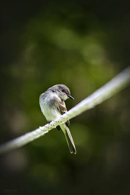 Photograph - Eastern Phoebe by Christina Rollo